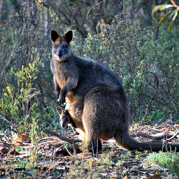 Wallaby and baby in pouch